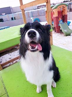 dogdaycarebordercollie.jpg