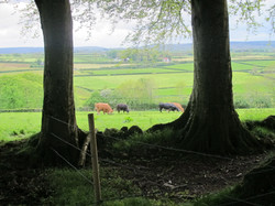 dromore house cows and view