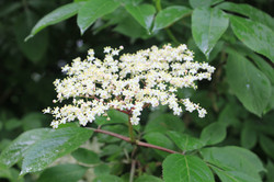 elderflower for our home made cordial