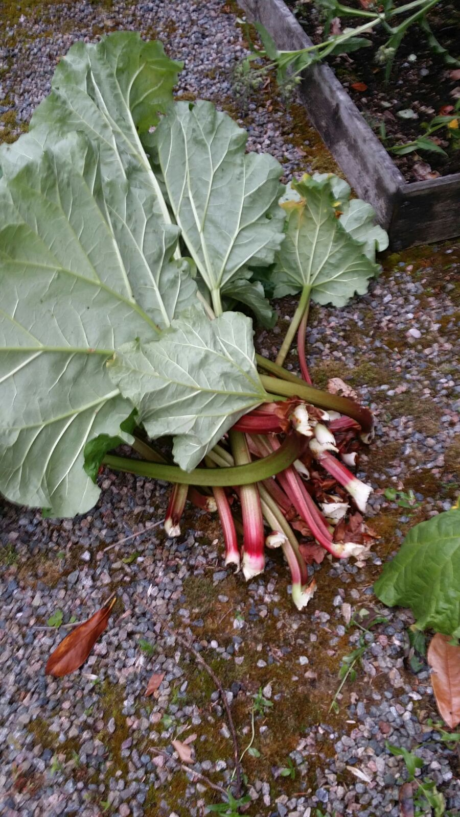 dromore house rhubarb