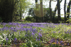 Bluebells in the grounds (2)