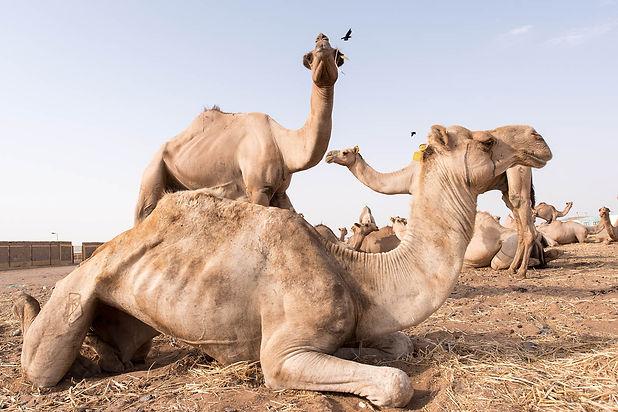 kamele-01.jpg