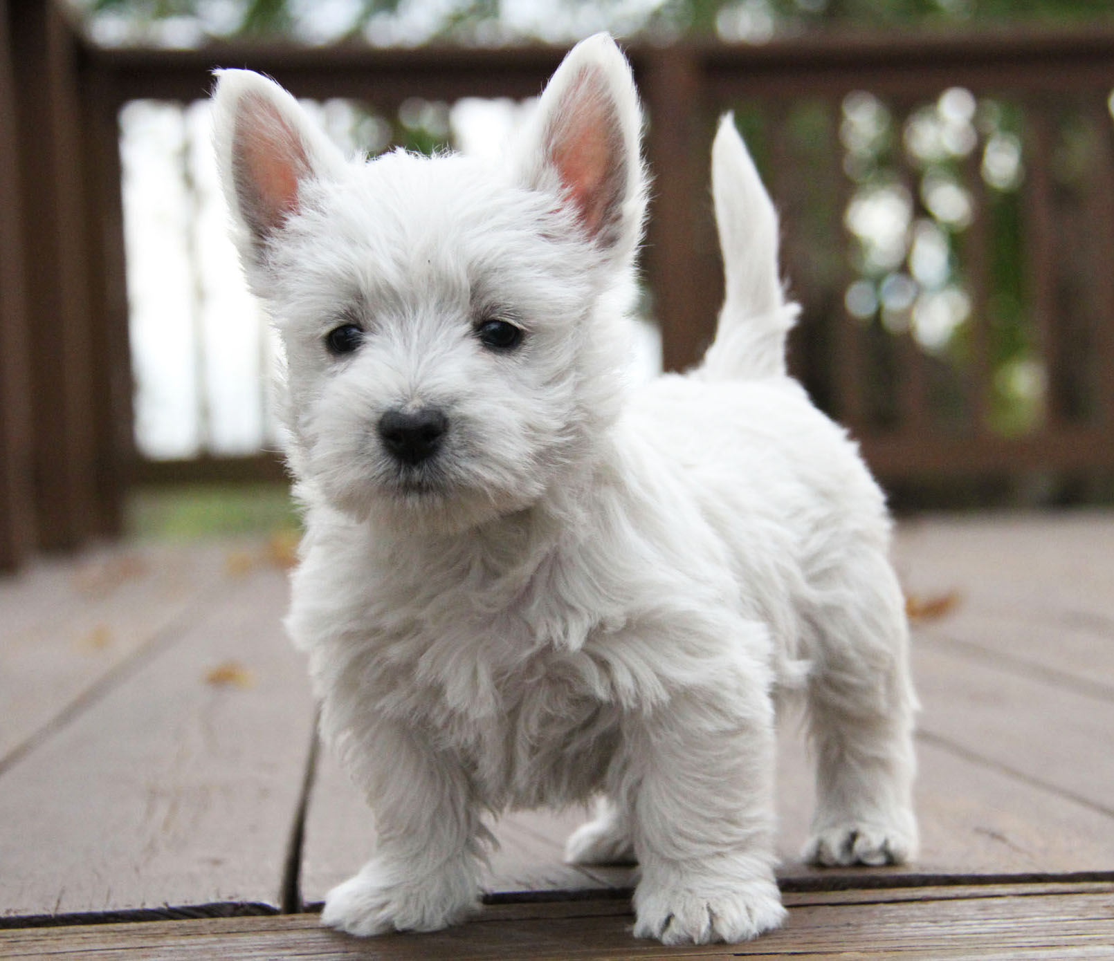 Archived | The West Acres | Westie Puppies | Missouri