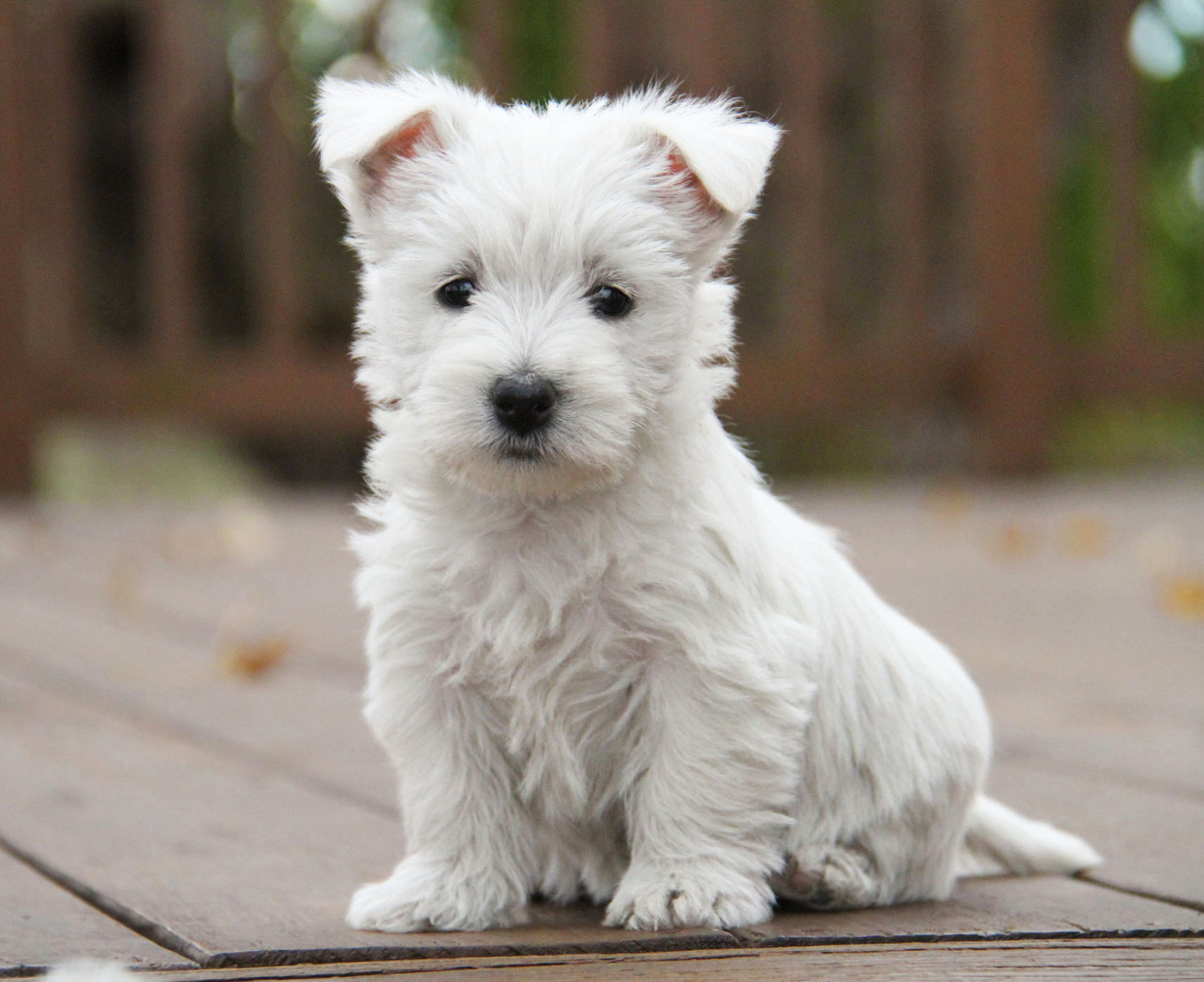 The West Acres | Westie Puppies | Missouri