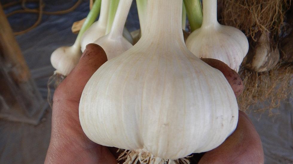 Music Seed Garlic