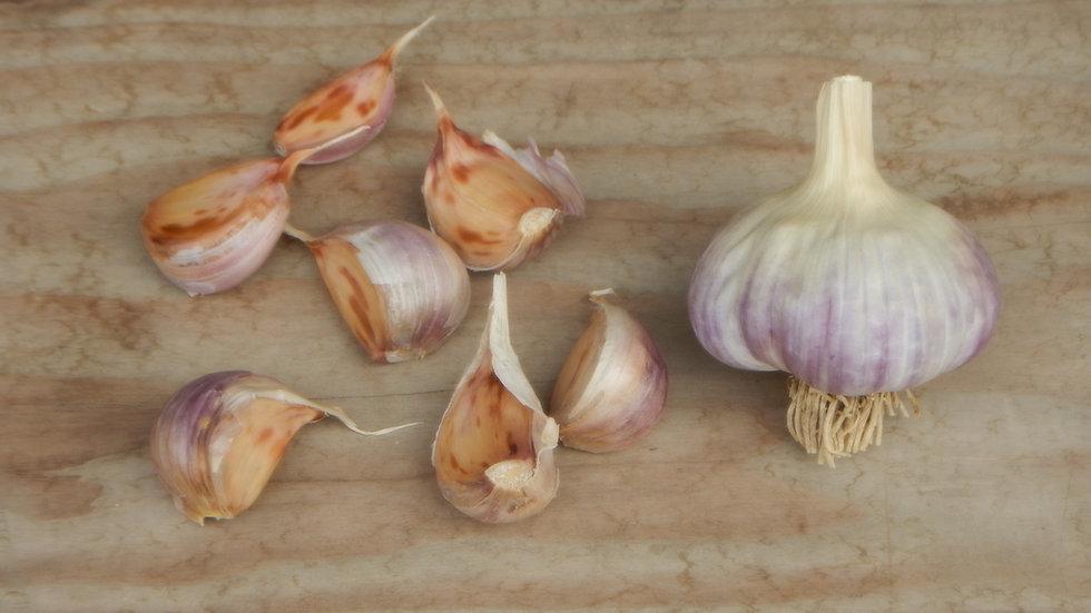 Russian Red Seed Garlic