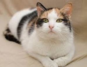 Calico cat sitter cat sitting pet sitter pet sitting Bellingham Bach Flower Therapy