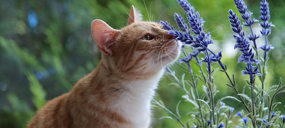 Bach Flower Remedies, Bach Fers for cats cat sitting pet sitting cat sitter pet sitter Bellingham