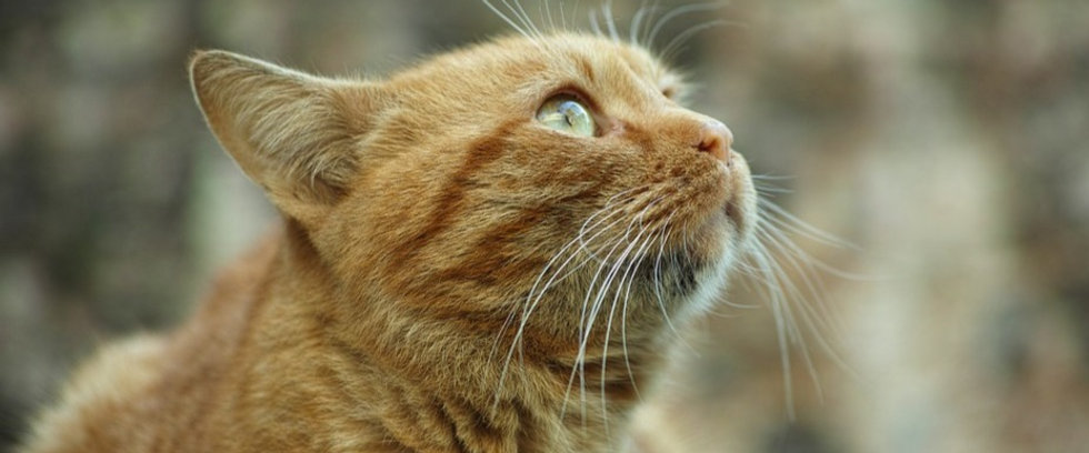 Orange tabby senior cat, cat sitter pet sitter in Bellingham, Bach Flower Therapy, Bach Flower Remedies