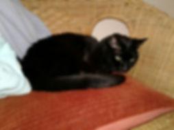 Beautiful black senior cat in chair