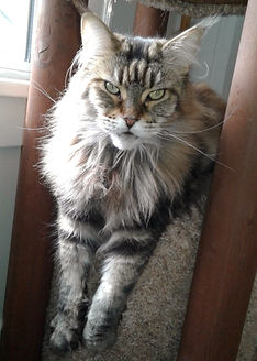 Tabby Maine Coon cat sitting cat sitter pet sitting pet sitter Bellingham