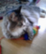 Beautiful long-hair cat playing with glitter toy. In-home cat sitting, professional pet sitter Bellingham.