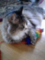 Cat sitter cat sitting pet sitter pet sitting Beautiful long-hair cat playing with glitter toy. In-home cat sitting, professional pet sitter Bellingham.