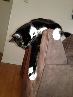 Black and white kitten on couch. Professional pet sitter Bellingham cat sitter cat sitting pet sitting.