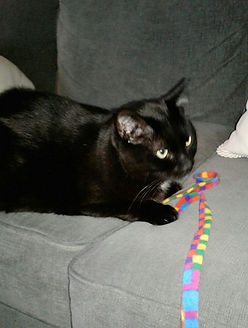 cat sitting cat sitter pet sitting pet sitter Cute black cat playing with string toy. In home cat sitting, professional cat sitter.