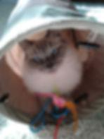 Ragdoll kitten in cat tunnel. In home pet sitting in Bellingham.