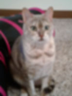 Bengal Kitty cat sitting cat sitter petsitting pet sitter Bellingham