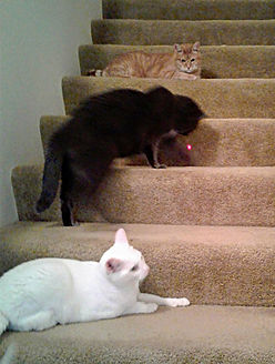 Cat sitter cat sitting Pet sitter pet sittingThree cats playing with laser pointer on stairs. In home professional cat sitting in Bellingham.