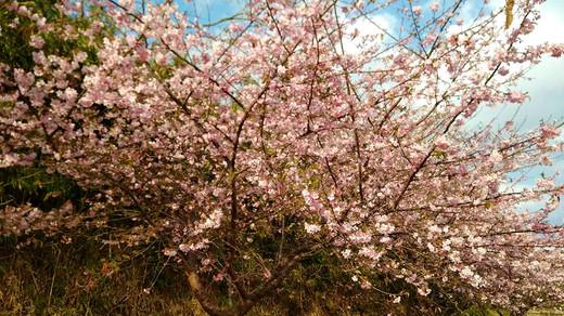 種子島の河津桜