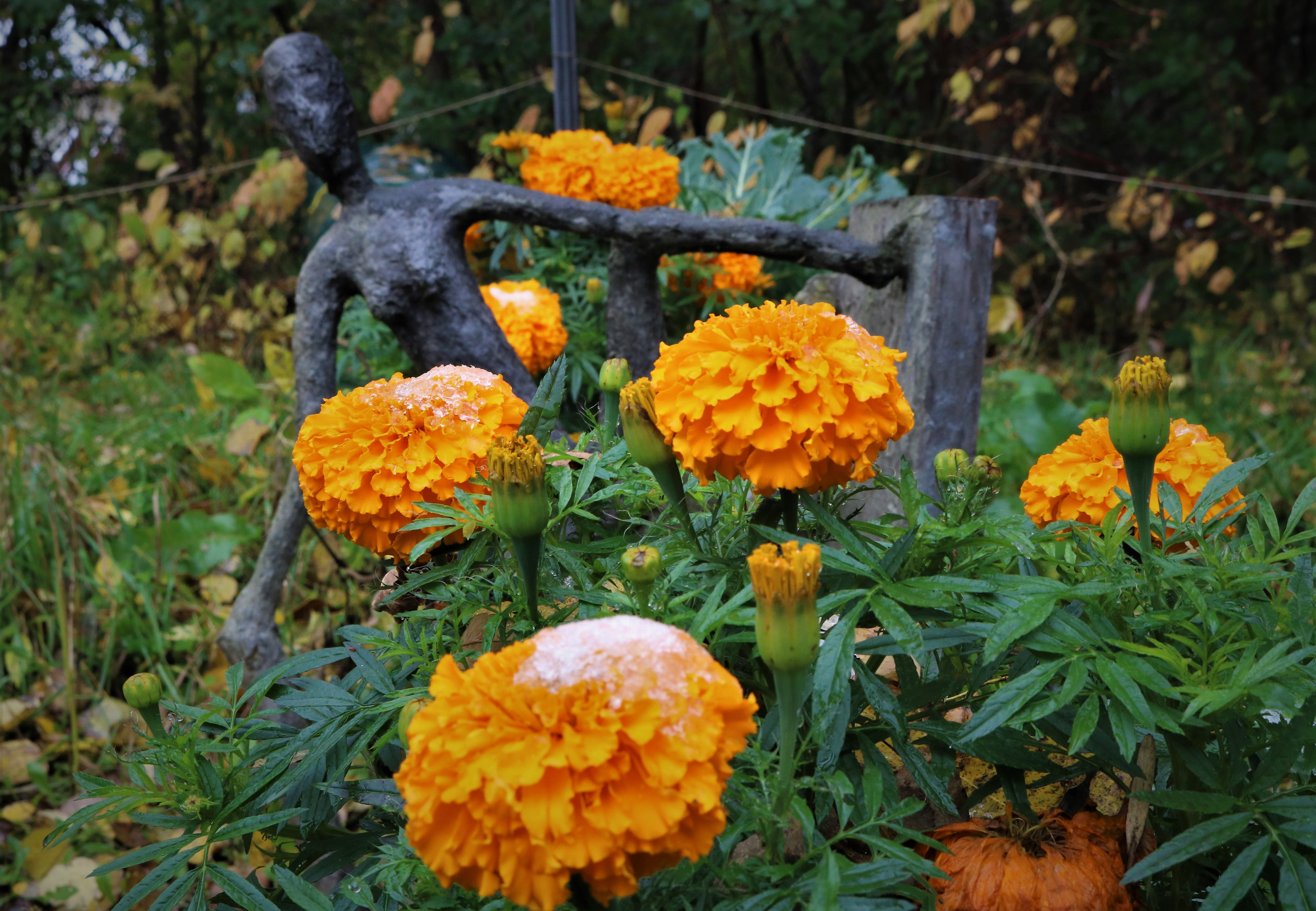 snow_and_marigolds