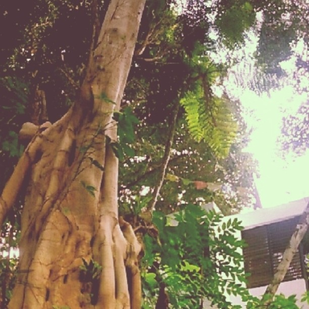 🍃 Gran arbol de ficus🍃_Cupey life