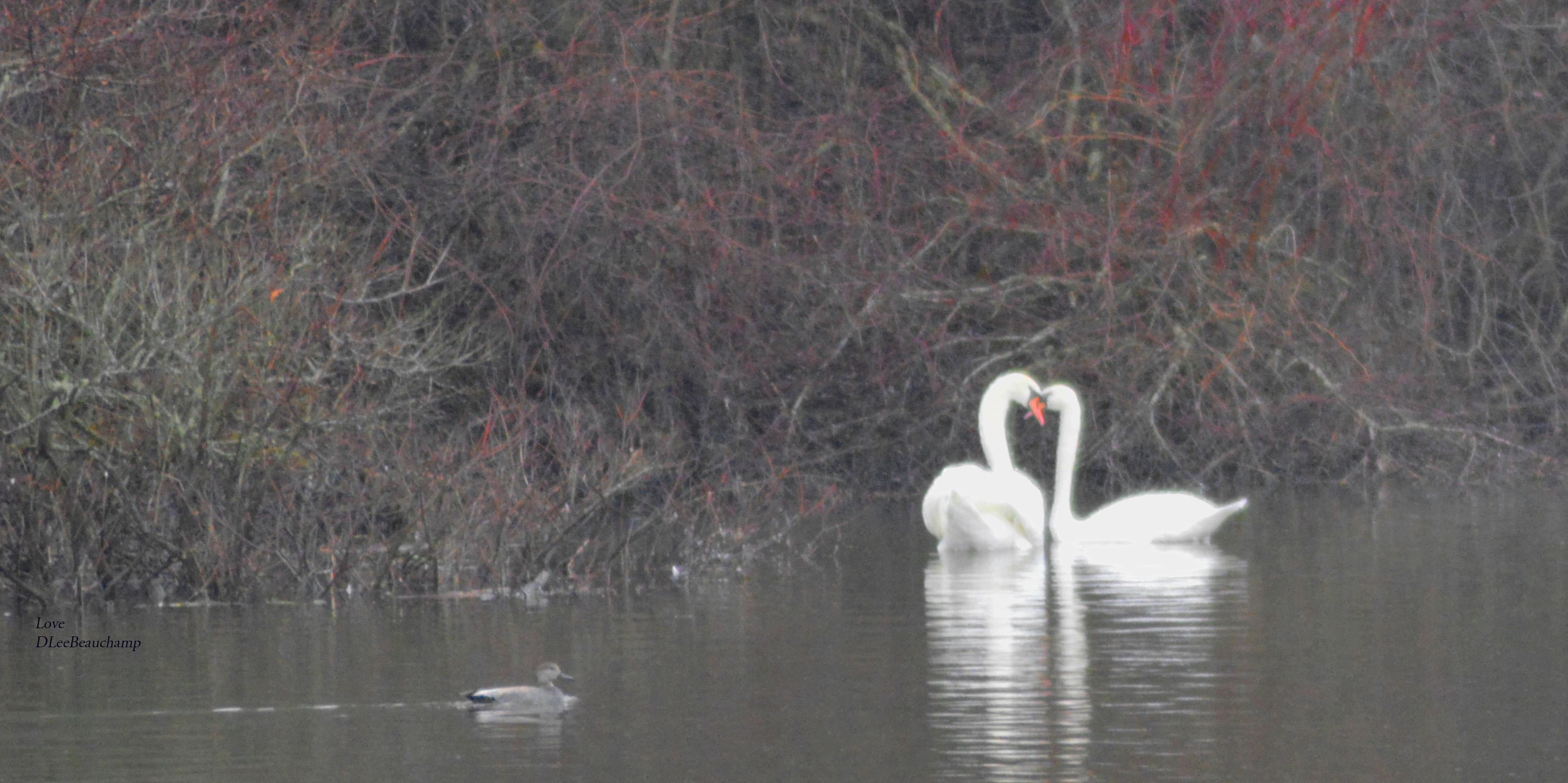 Swan_love_2