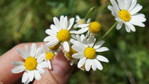 Ingredient spotlight: Chamomile the flower of kings