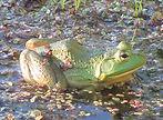 bullfrog slideshow.jpg