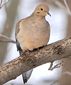 mourning dove tn.png