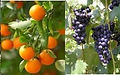 orange grape pic.jpg
