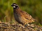 bobwhite quail pic.jpg