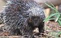 porcupine slideshow.jpg