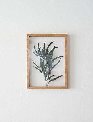 Eucalyptus Nicholii M
