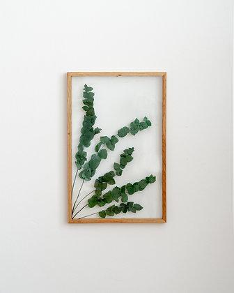 Eucalyptus Stuartiana L