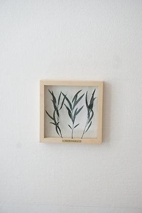 Eucalyptus Nicholii S клён