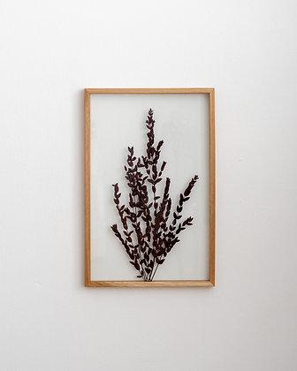 Parvifolia Red L