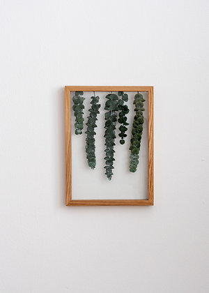 Eucalyptus Pluviam M