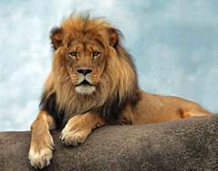 Im Lion on a Rock