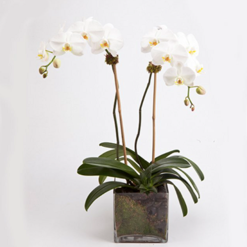 Orchid Plant