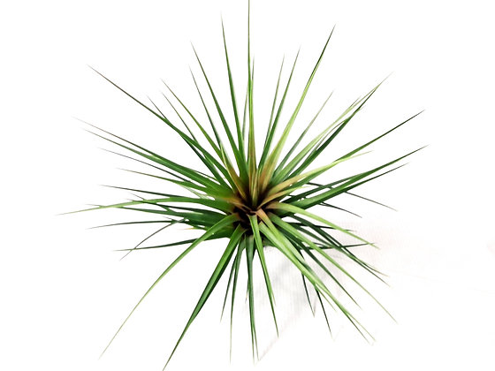 Airplant Tricolor