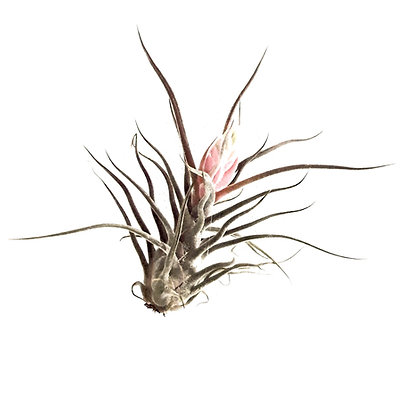 Airplant Pruinosa