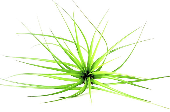 Airplant Stricta