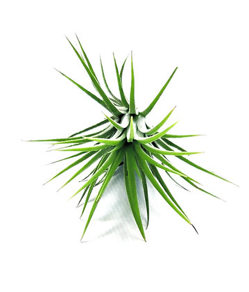 Airplant Ionantha Green