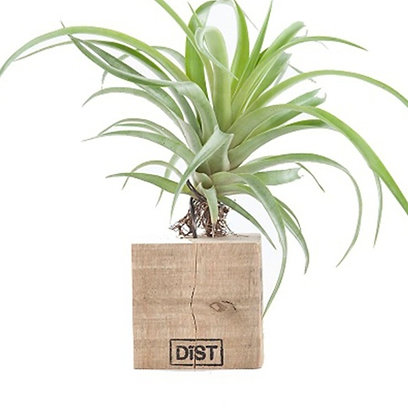 Dïst airplant medium