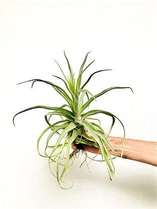 Dïst Streptophylla Large