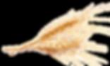 vernais épi de blé 11