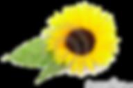 vernais  - photo tournesol - CCAS