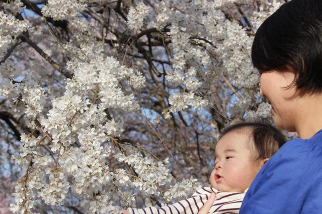 桜の写真2.jpg