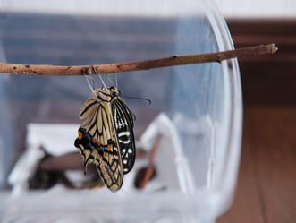 「アゲハ蝶」