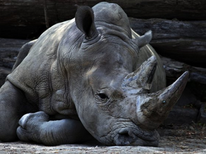The State of the Rhinos 2018